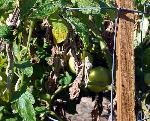 Tomatoesinjanuary